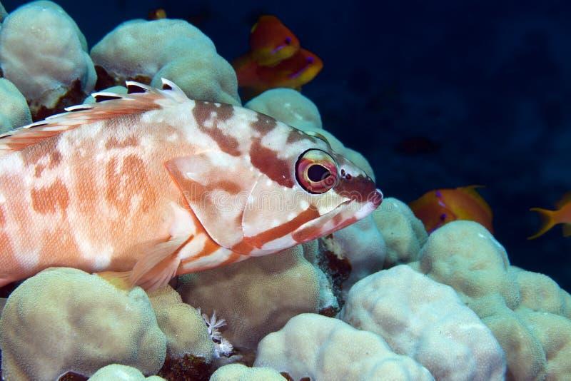 Blacktip grouper w de Czerwonym morzu. (epinephelus fasciatus) zdjęcie royalty free