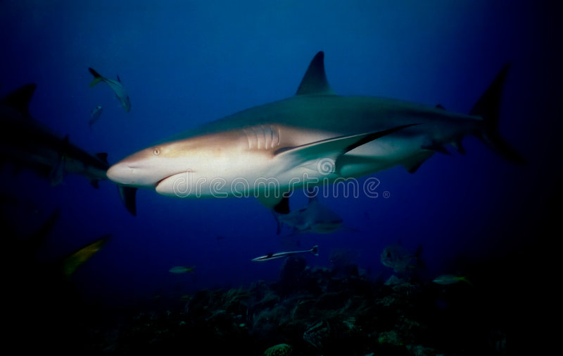 Blacktip Haifisch lizenzfreie stockbilder