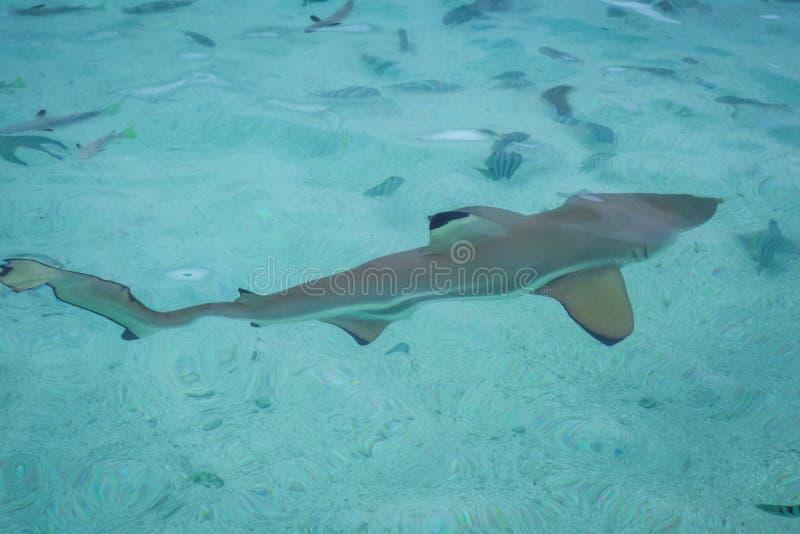 Blacktip haj i mooreaölagun arkivfoton