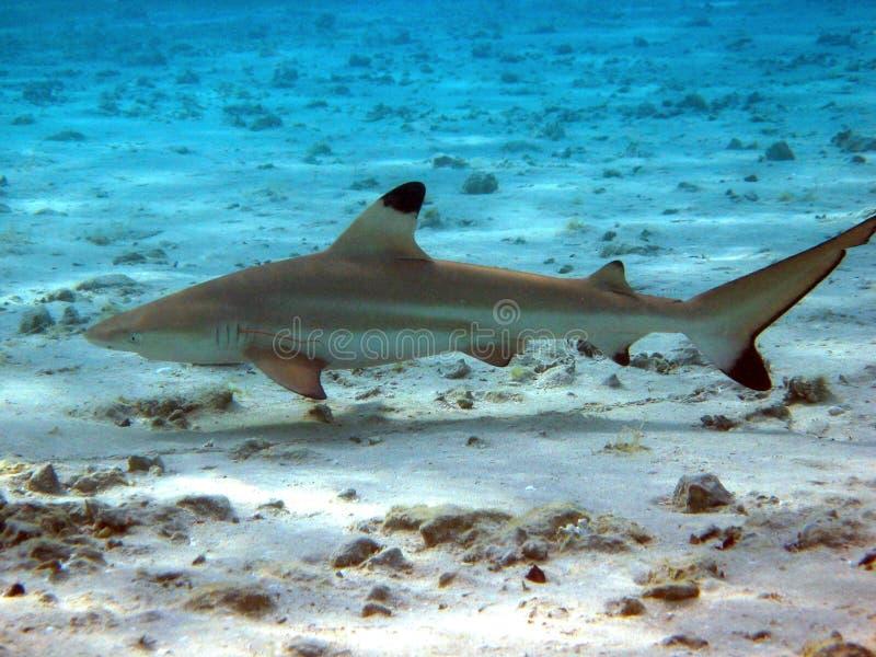 Blacktip Reef Shark royalty free stock photo
