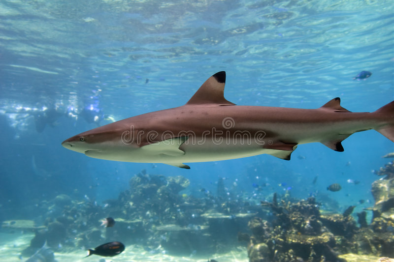 Download Blacktip reef shark stock photo. Image of swimming, clear - 2217024
