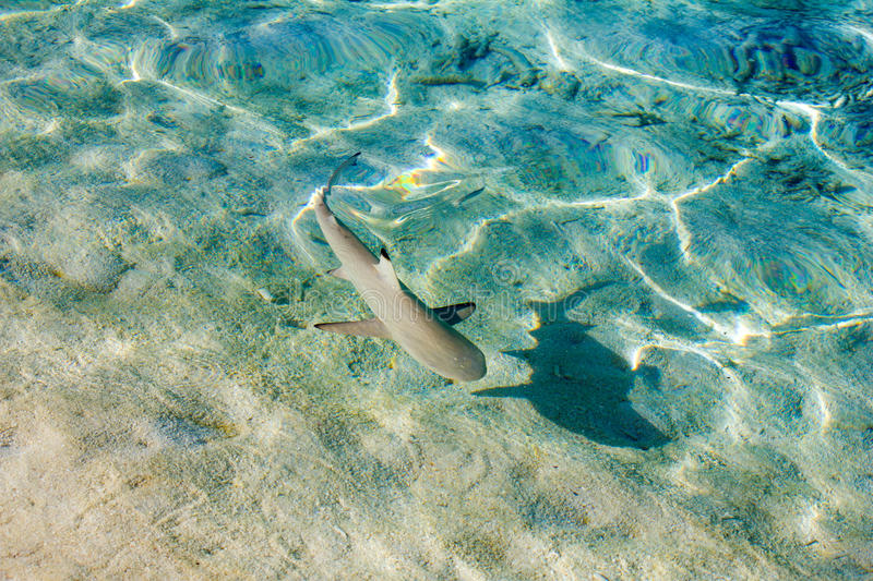 Blacktip reef shark Carcarhinus melanopterus swims in shallow waters royalty free stock image