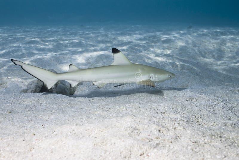 Blacktip reef shark carcharhinus melanopterus 01 stock photography