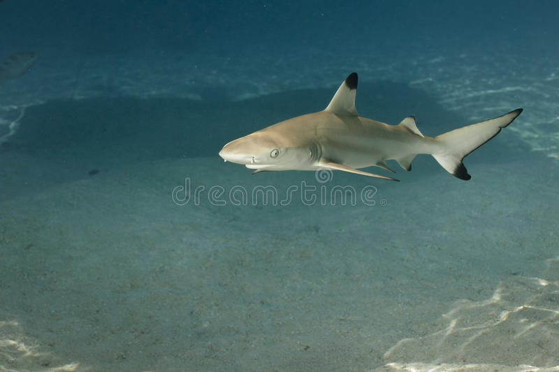 Blacktip reef shark carcharhinus melanopterus 01 royalty free stock photography