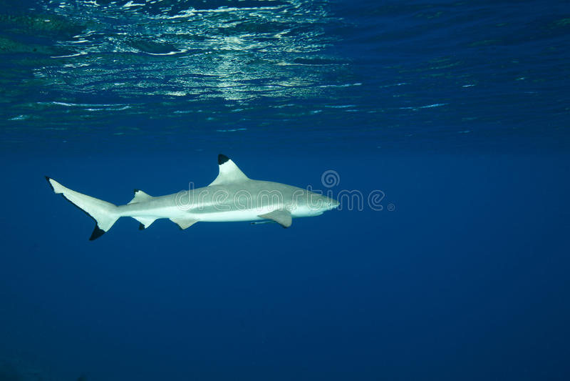 Blacktip reef shark Carcharhinus melanopterus stock images