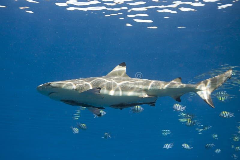 Blacktip Reef Shark, Carcharhinus melanopterus, med Remora arkivfoton