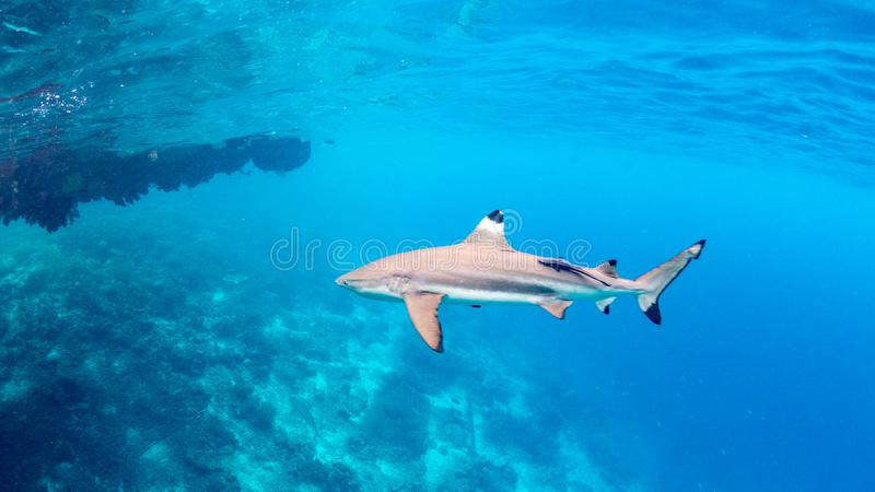 Blacktip reef shark, Carcharhinus melanopterus. Misool, Indonesia royalty free stock images