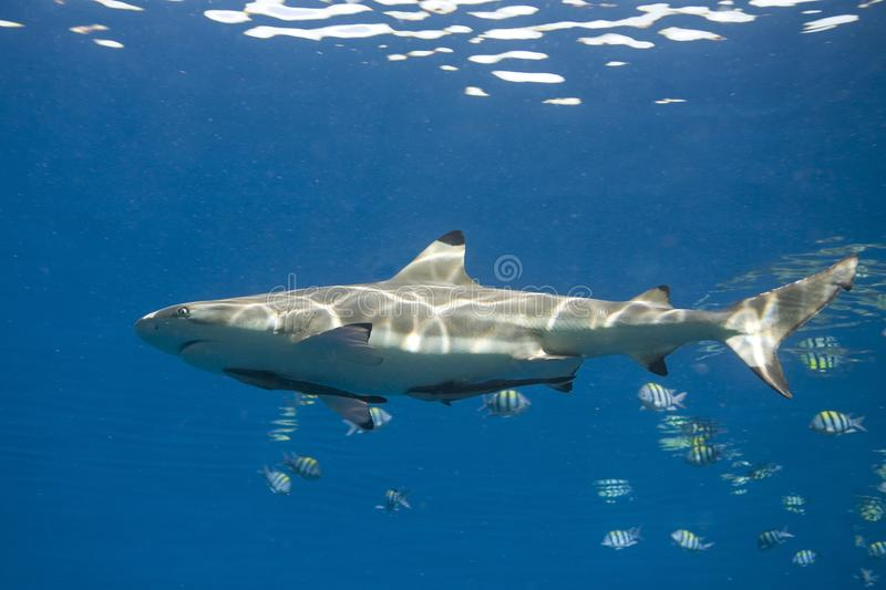 Blacktip Reef Shark, Carcharhinus melanopterus, with Remora stock photos