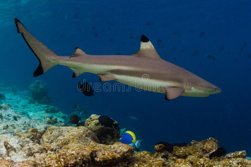 Blacktip reef shark. Carcharhinus melanopterus swims along the reef edge in the tropical sea royalty free stock photo
