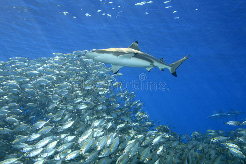 Blacktip Reef Shark with Fish stock photography