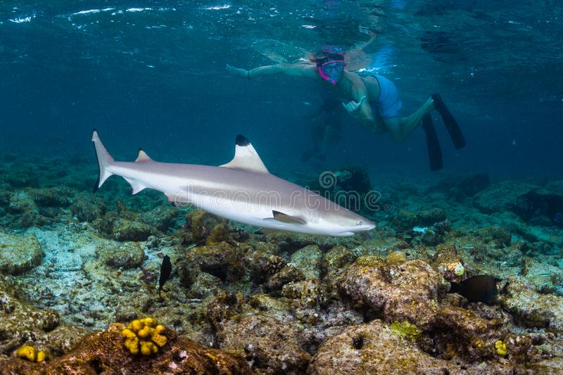 Blacktip reef shark royalty free stock photo