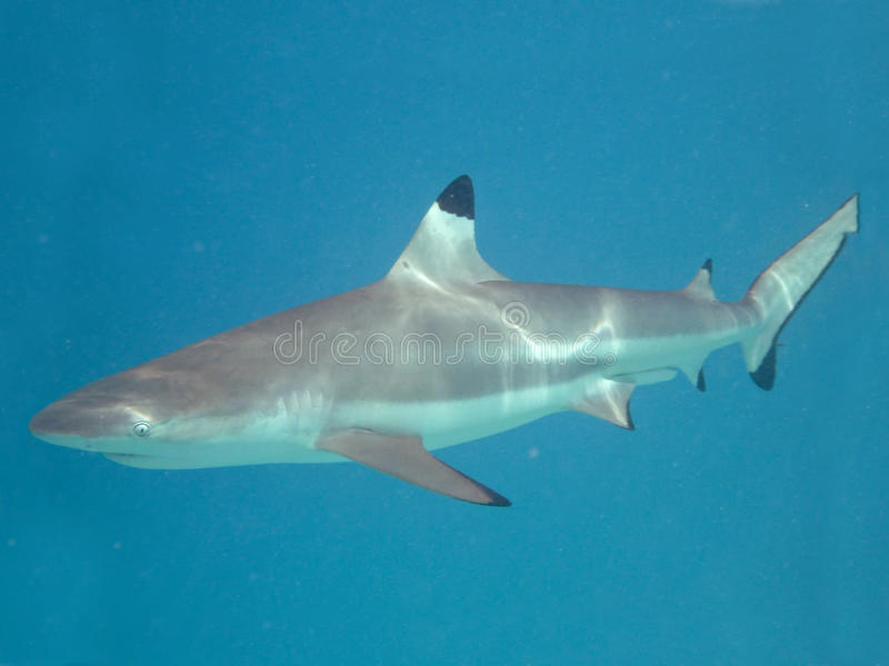 Blacktip reef shark royalty free stock image