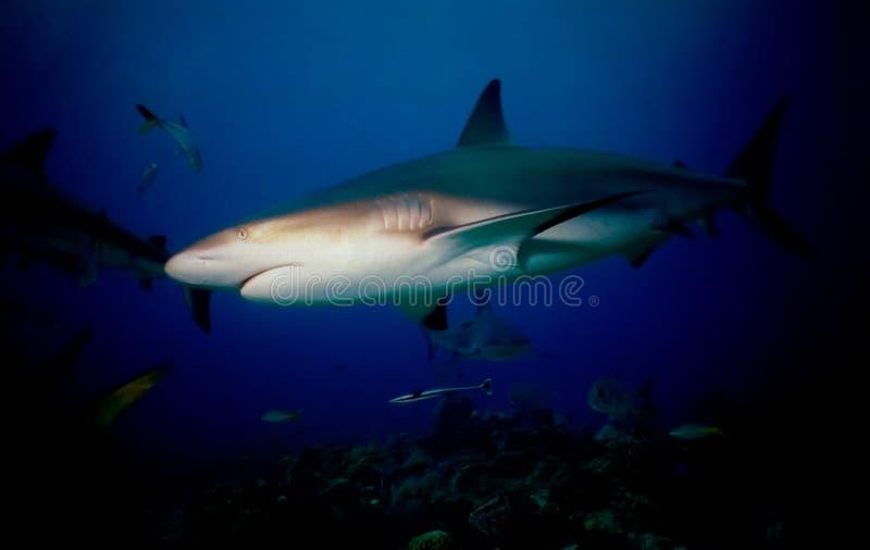 blacktip rekin obrazy royalty free