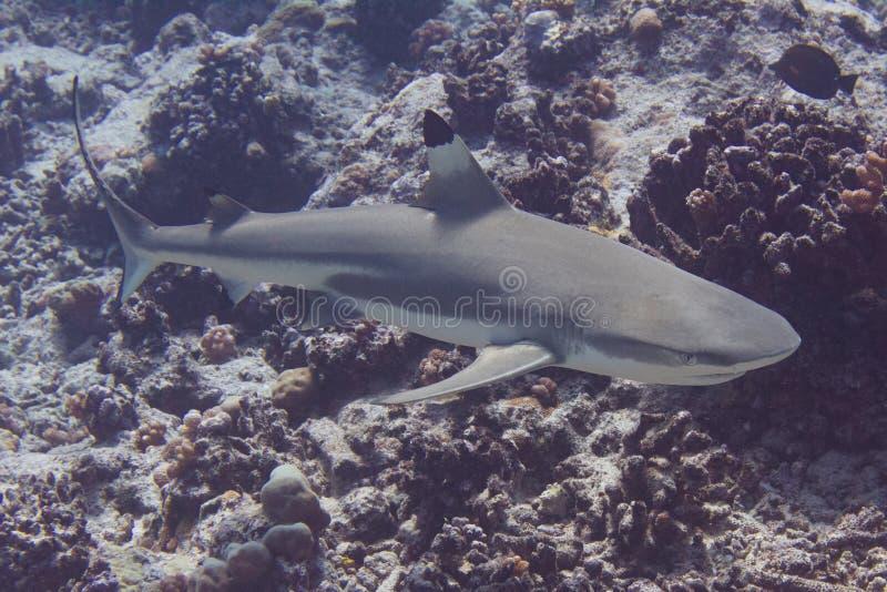 Blacktip revhaj på Coral Reef arkivfoto