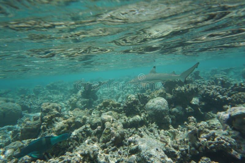 Blacktip Rifhaifisch Carcharhinus melanopterus stockfotos