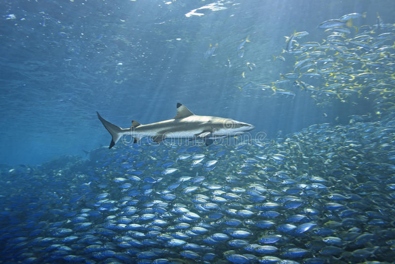 blacktip ryba rafy rekin fotografia stock