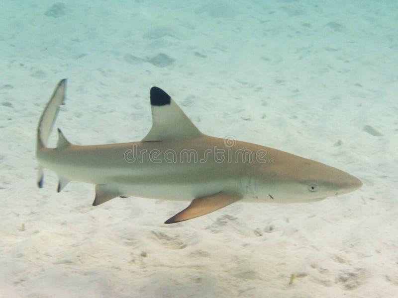 Blacktip shark royalty free stock photos