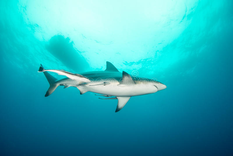 A blacktip shark in the open ocean royalty free stock image