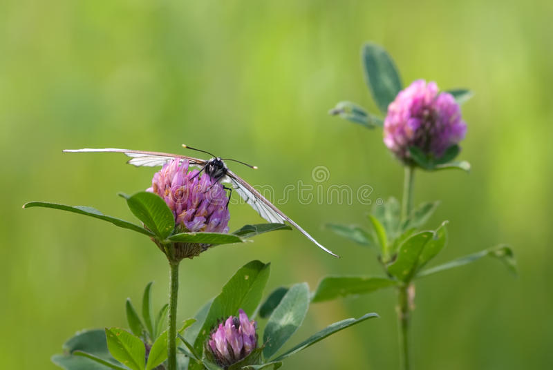 The blackvein and the clover royalty free stock photo