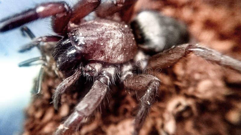 Blackwalli de Scotophaeus - araña del ratón fotos de archivo libres de regalías