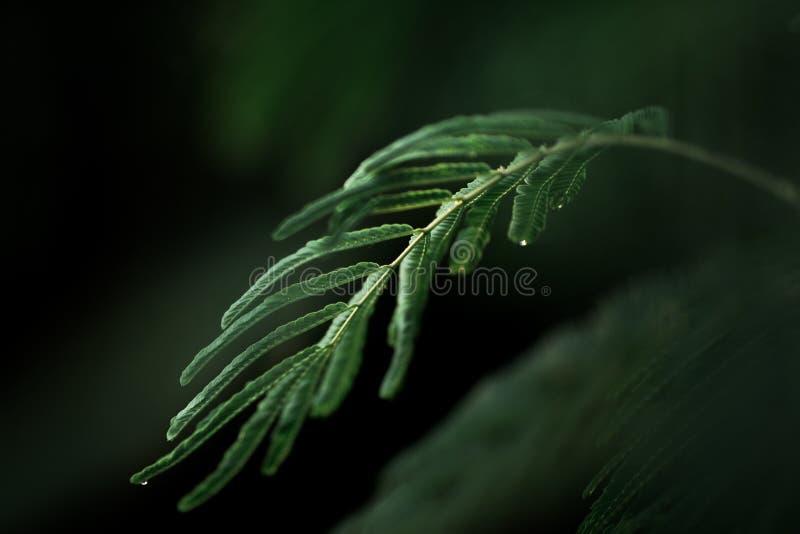Blad av den känsliga mimosan royaltyfri foto