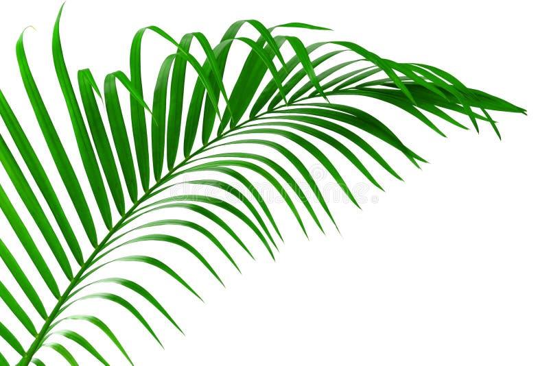 Blad av den palmträd isolerade urklippbanan royaltyfria bilder