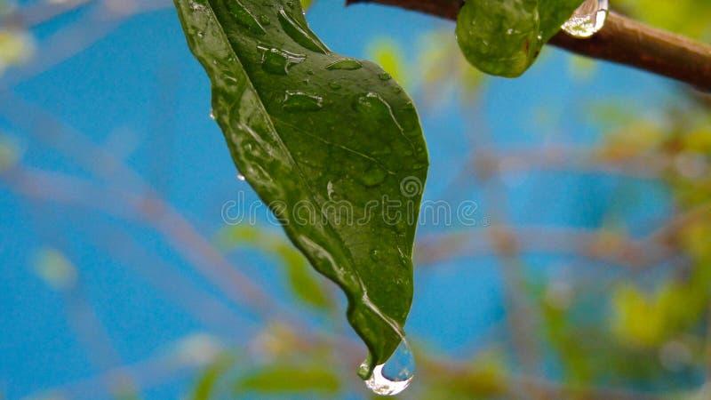 Blad av växten med droppe av vatten, efter ett regn arkivbild