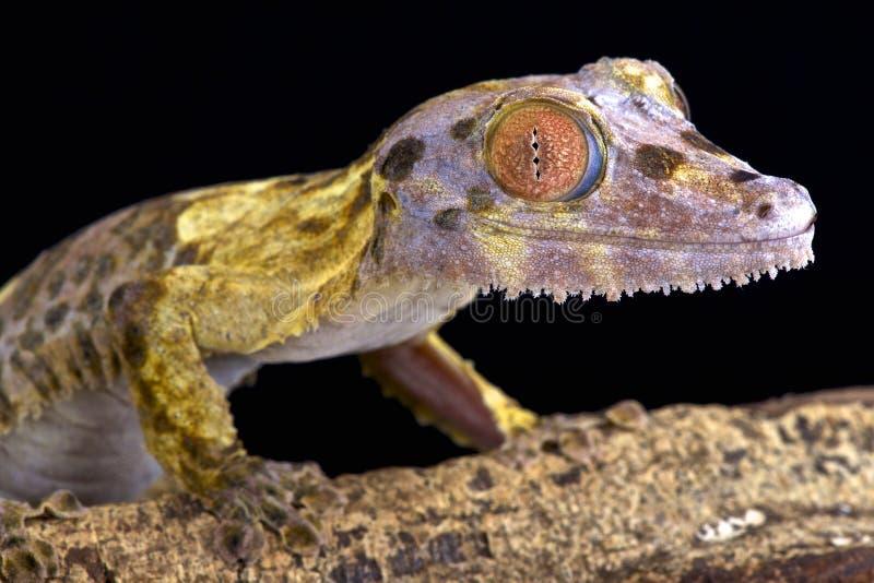 Blad-de steel verwijderde van gekko (Uroplatus-henkeli) stock afbeeldingen