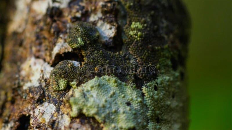 Blad-de steel verwijderde van gekko, Uroplatus-sikorae, species van gekko met de capaciteit om zijn huidkleur te veranderen om zi stock foto