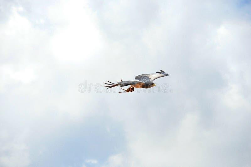 Blad Eagle, exposição da falcoaria fotografia de stock royalty free