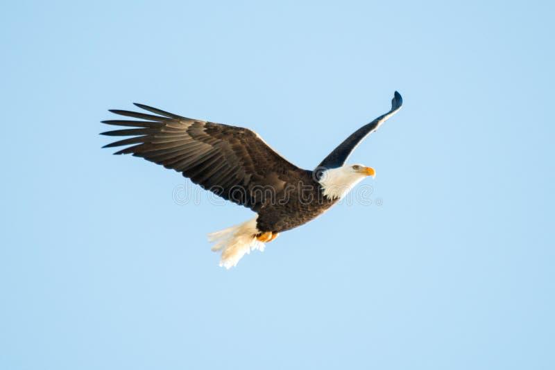 Blad Eagle Soaring over het meer stock afbeelding