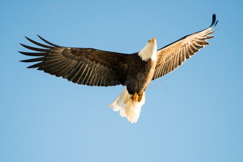 Blad Eagle Soaring over het meer stock afbeeldingen