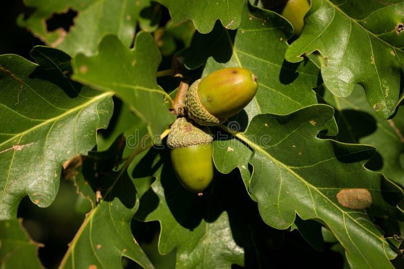 Blad en eikel van de Engelse Eik van Pedunculate - Quercus robur royalty-vrije stock foto