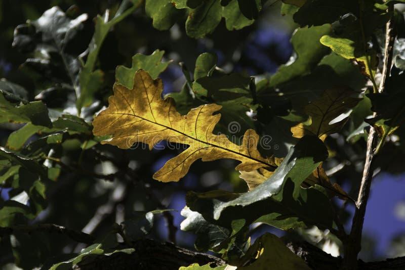 Blad för brun ek på filial bland gröna eksidor arkivbild