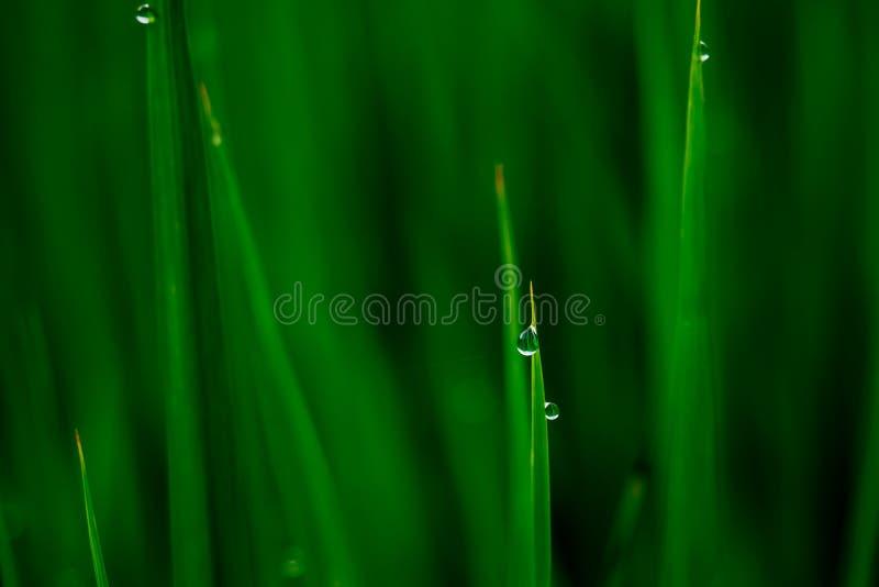 Blad för gräsplan för daggdroppe på suddig grön bakgrund arkivbild