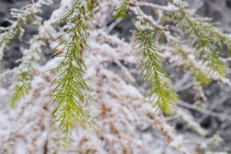 Blad för gräsplan för sommarsäsong av ett granträd och vit snöar fotografering för bildbyråer