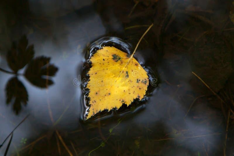 Blad för gul björk arkivfoto