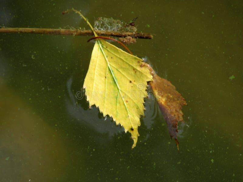 Blad för gul björk på grönt vatten arkivbild