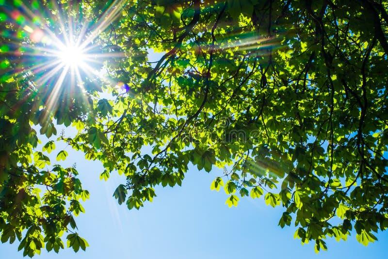 Blad från kastanjeträd och vacker blå himmel arkivbild