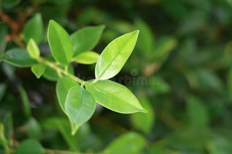 Blad, groene bladeren, achtergrond, wit, aard stock foto