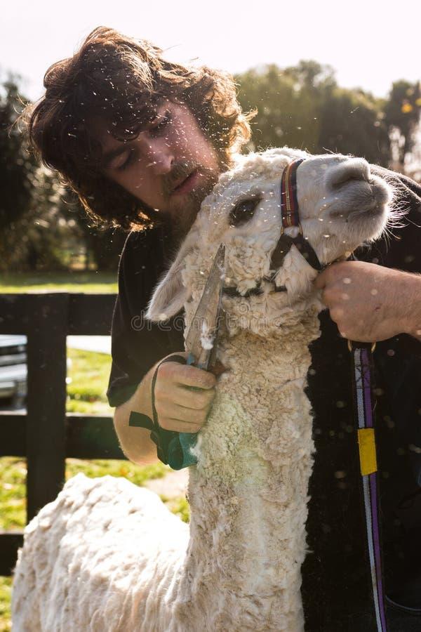 Blad het scheren van een alpaca, Nieuw Zeeland stock afbeeldingen