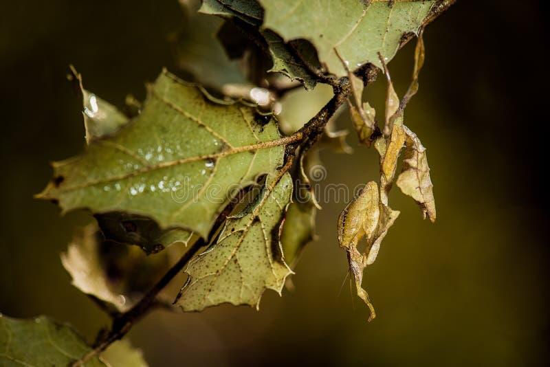 Blad mimisch bidsprinkhanen en blad stock foto's