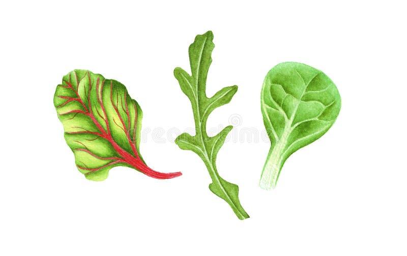 Blad van de waterverf het verse groene salade royalty-vrije stock fotografie