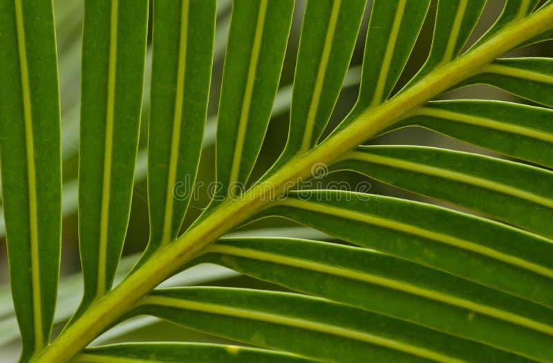 Blad van een palm stock afbeelding