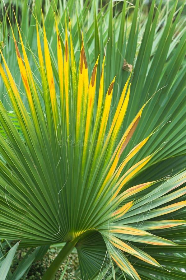 Blad van een ventilatorpalm. Fortunei van Trachycarpus. stock afbeelding