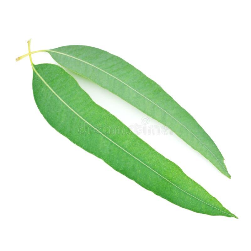 Blad van eucalyptus stock foto's