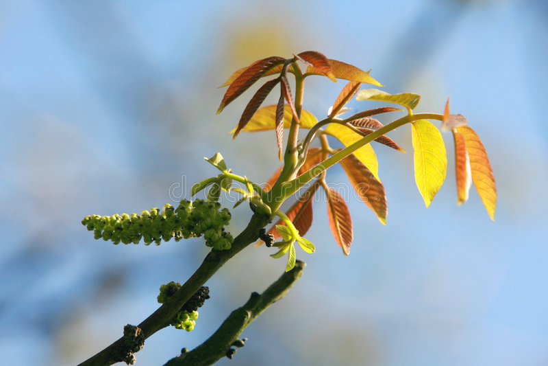 Blad van okkernootboom stock afbeelding