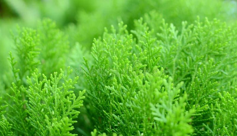 Blad van pinaceaestamboom stock afbeelding