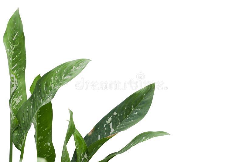 Blad van tropische geïsoleerde spathiphylluminstallatie stock foto's