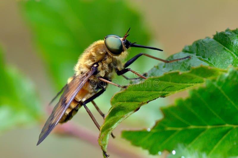Blada gigantyczna komarnica plenerowa (tabanus bovinus) zdjęcie stock